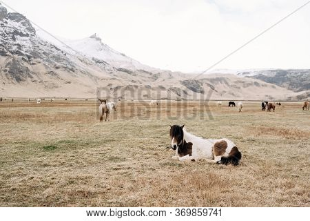 The Icelandic Horse Is A Breed Of Horse Grown In Iceland. The Horse Lay Down To Rest On The Grass, A