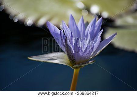 Purple Lotus Flower Bloom In Still Water Pond With Bokeh