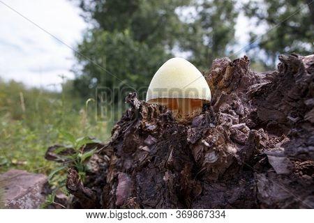 Tree Mushrooms. Silky Edible Plate Mushroom Volvariella Bombycina Growing On Dead Rotten Wood. A Rar