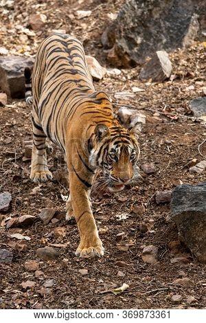 Royal Bengal Tiger Head On Walking In Jungle Safari. Wildlife Scene With Danger Animal In Hot Summer
