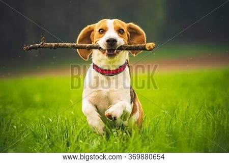 Beagle Dog With A Stick On A Green Field During Spring Runs Towards Camera. Happy Active Dog Fetchin