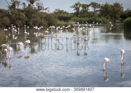 Flamingos In The Camargue District In Southern France