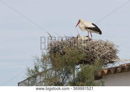 Stork In The Nest, Camargue, Southern France