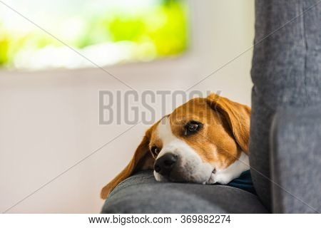 Beagle Dog Tired Sleeps On A Cozy Sofa In Funny Position. Dog Background Theme