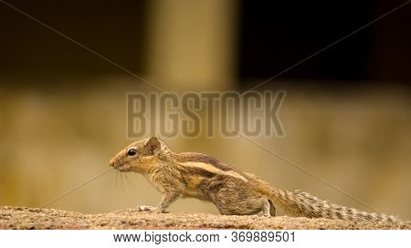 Cute Palm Squirrel Eating Fruits In The Park.the Indian Palm Squirrel Or Three-striped Palm Squirrel