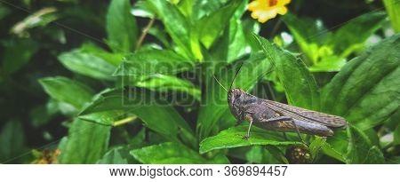 Migratory Locust, Locust, Locusta Migratoria. Grasshopper (locust) Eating Green Plants Isolated On N