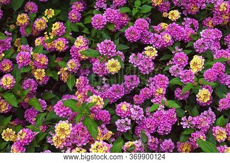 Colorful Flowers Of Lantana ( Lantana Camara ) In Garden On Spring Day, Background