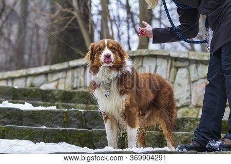 Australian Shepherd - Shepherd Stands On The Stairs