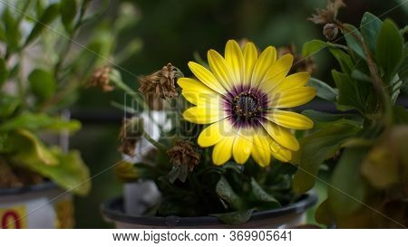 Bright Yellow Flower In The Garden Beside Wilting Flowers