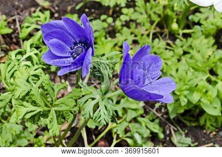 Wood Anemone, Anemone Nemorosa, Windflower, Blooming  Purple Garden Flower With Blue Stamens, Sofia,