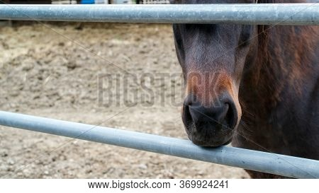 The Snout Of A Liver Chesnut Colt Through A Metal Fence