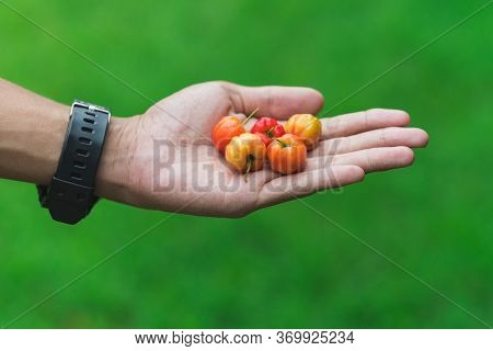Handful Of Red, Orange And Yellow Fruits (barbados Or Thai Cherry) On A Palm Of Asian (thai) Man. Co