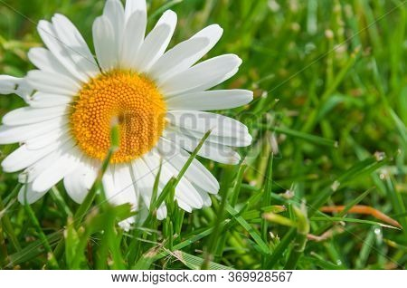 Daisy Flower Beautiful And Delicate On The Grass. Chamomile