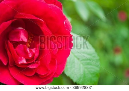 Rose Background, Bright Rose Flower. Background In Yellow-coral Style For Postcards And Texts.