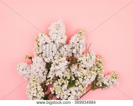 Bouquet Of White Lilac On A Pink Background. Close-up.