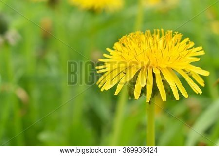 Macro. Dandelion Plant With A Fluffy Yellow Bud.