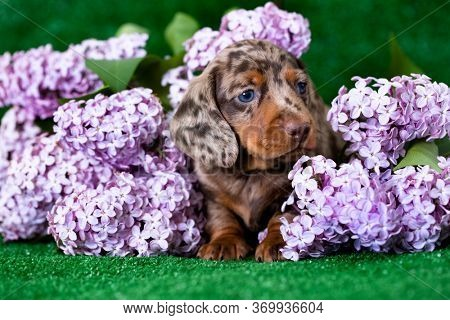 dachshund puppy brown tan marble  color and lilac purple