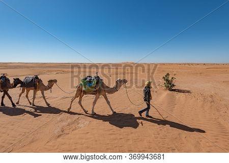 Camel Caravan Led By A Berber In The Sahara Desert, Morocco