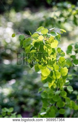Young Birch Leaves In Beautiful Sunlight In Spring. Close View.