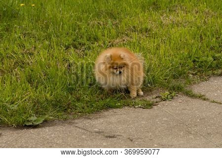 Spitz Dog Pooping Defecate On Walk Way In The Park - Image