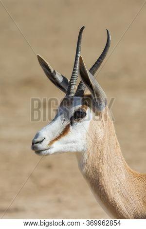 Head Profile Of A Peaceful Springbok (antidorcas Marsupialis) Gazing Into The Kalahari, South Africa