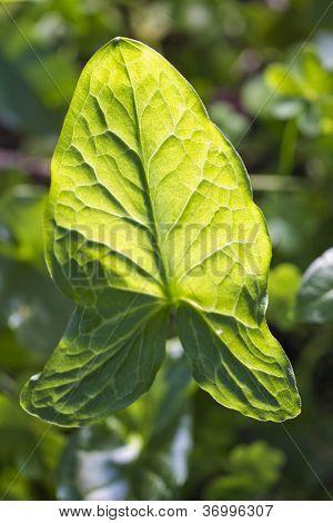 Big Leaf In Nature