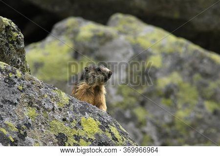 The Alpine Marmot (marmota Marmota Latirostris) On The Rock Covered By Lichen