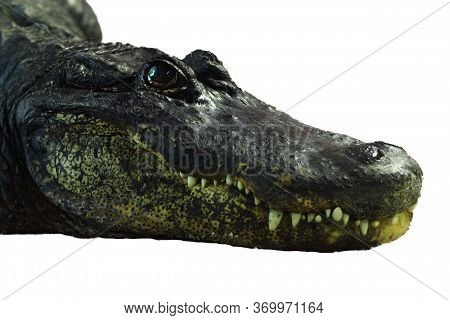Detail Of The Head With Sharp Teeth Of The American Alligator (alligator Mississippiensis)