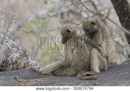 Chacma baboon pair grooming and checking for insects in Kruger, South Africa with bokeh