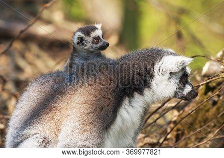 Portrait Of Lemuriformes - Lemur In The Park,