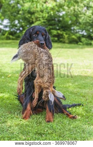 The Black Dog Gordon Setter Sits On A Meadow And Has A Hare In His Mouth That