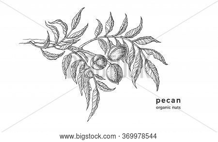Pecan Tree. Ink Texture Sketch Of Raw Nuts, Leaf. Vector Botanical Illustration. Hand Drawn Monochro