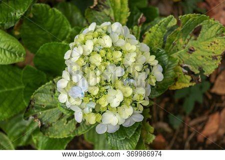 Hydrangea Macrophylla - Beautiful Bush Of Hydrangea Flowers In The Garden. Hydrangea, Soft Focus. Be