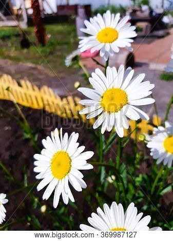 Flowering Of Daisies. Oxeye Daisy, Leucanthemum Vulgare, Daisies, Dox-eye, Common Daisy, Dog Daisy,
