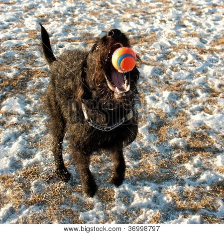 Labradoodle Catching Ball