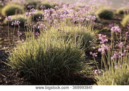 Purple Flower Plants In A Landscaped Garden