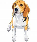 color sketch of the dog Beagle breed sitting poster