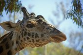 A giraffe sticks its neck out and shows its profile. poster