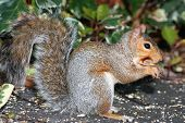 Close up shot of European grey squirrel poster