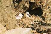 photo of two gulls sitting on nest in cliff face poster