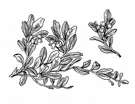 Hand Drawn Set Branch And Berry Of Cranberry With Leafs. Drawing Sketch Of Forest Fruit. Ink Line Bo
