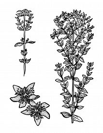 St. Johns Wort Vector Drawing Set. Hand Drawn Branch Of Hypericum With Leafs And Flowers. Drawing Sk
