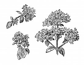 Hand Drawn Set Branch And Flower Of Oregano With Leafs. Drawing Sketch Of Forest Plant. Ink Line Bot
