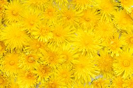 Background From Yellow Dandelions. Summer Floral Background