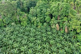 Palm oil plantation at rainforest edge