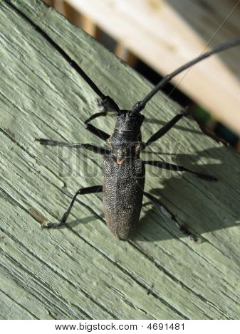 bug capricorn beetle on the peace of wood poster
