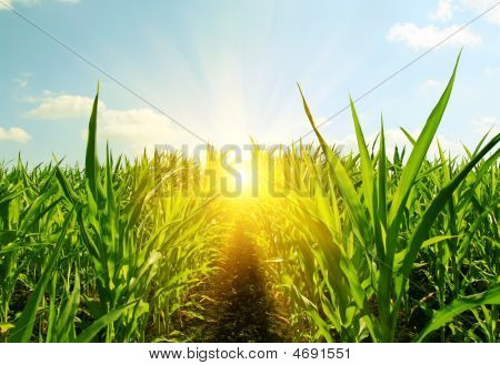 Field Of Young Corn And Sun Sky