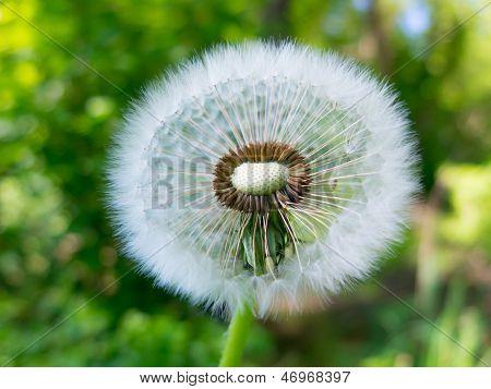 Old Dandelion Flower