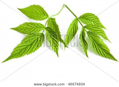 leaves raspberry isolated on a white background