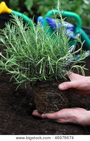 Rosemary Seedling Ready For Planting